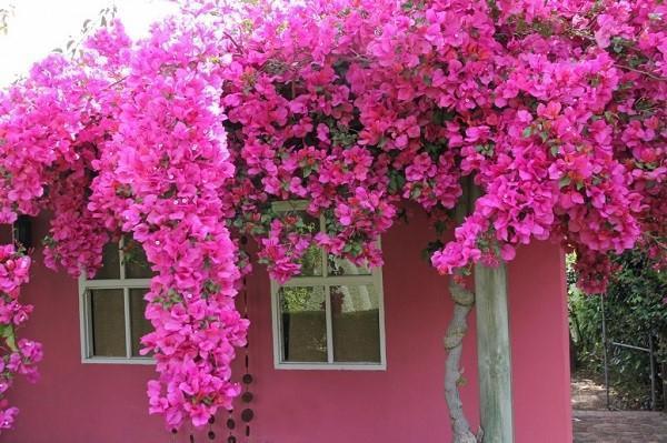 цветет садовая бугенвиллия