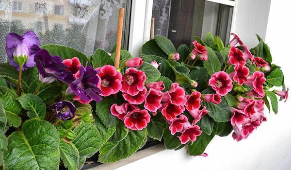 цветут глоксинии на подоконнике