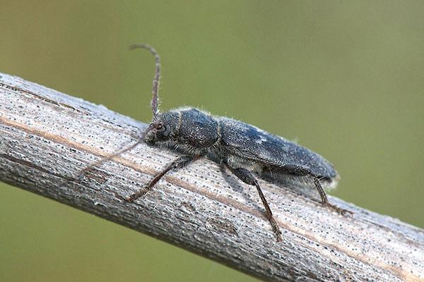 домовой жук точильщик