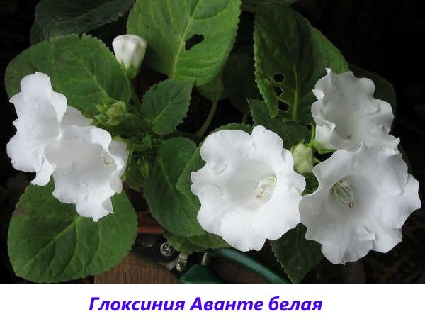 глоксиния Аванте белая
