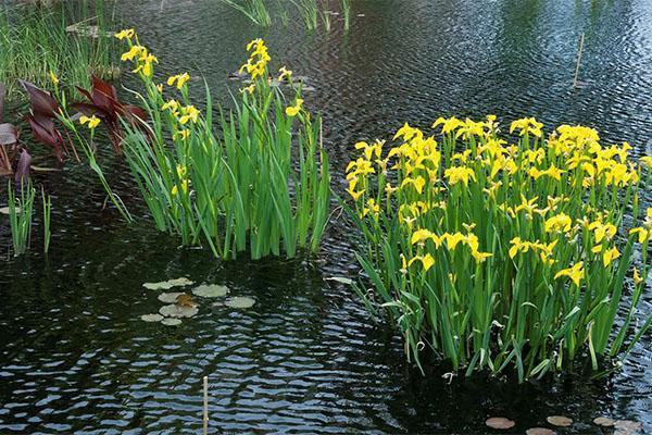 цветет ирис болотный