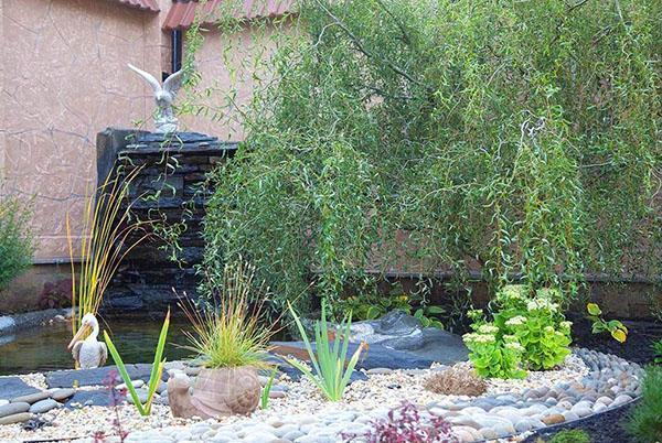 ива извилистая у садового водоема