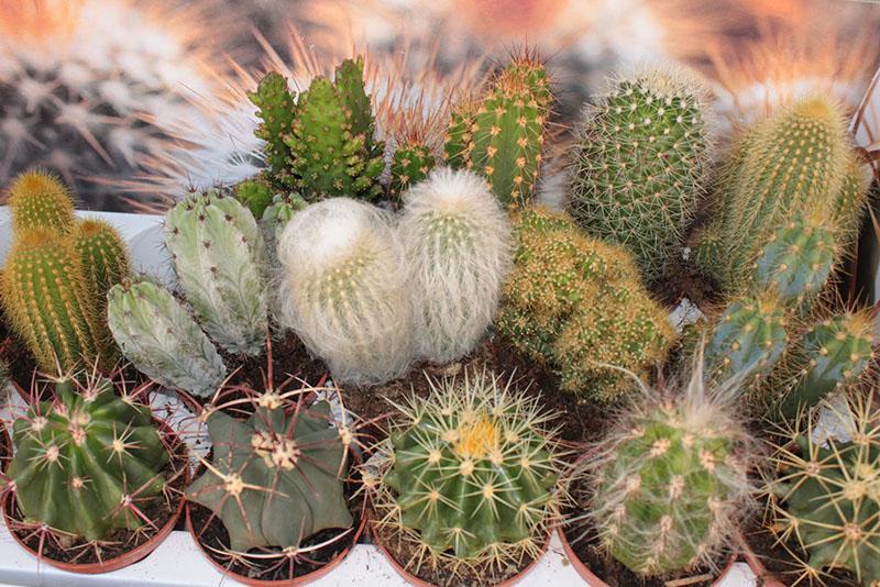 как ухаживать за кактусом разных видов