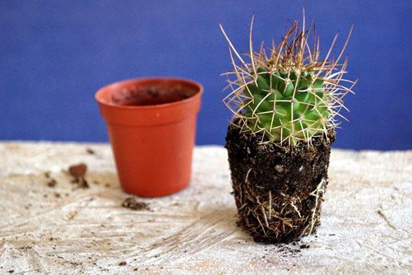 кактус нуждается в пересадке