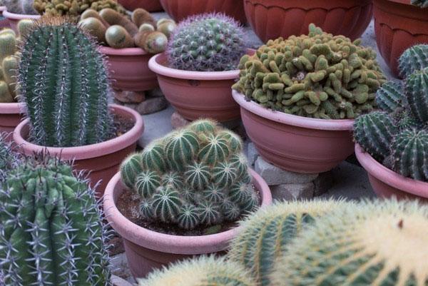 кактус разных видов и сортов