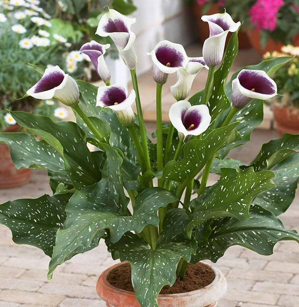 Как ухаживать за цветами калла в домашних условиях. Почему называют калла цветок смерти