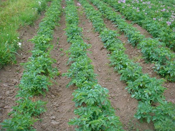 картофель защищен препаратом табу