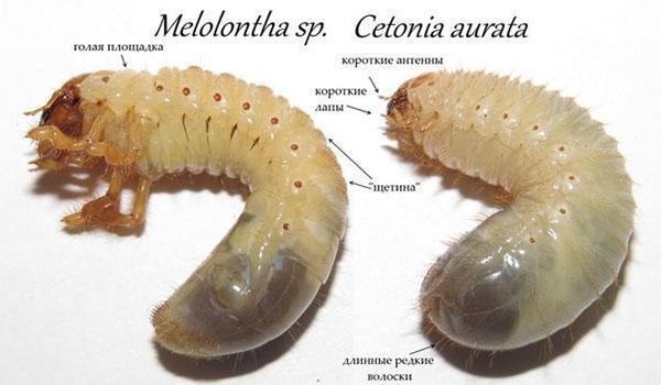 личинки майского жука и бронзовки