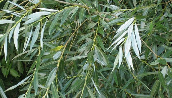 листья ивы белой
