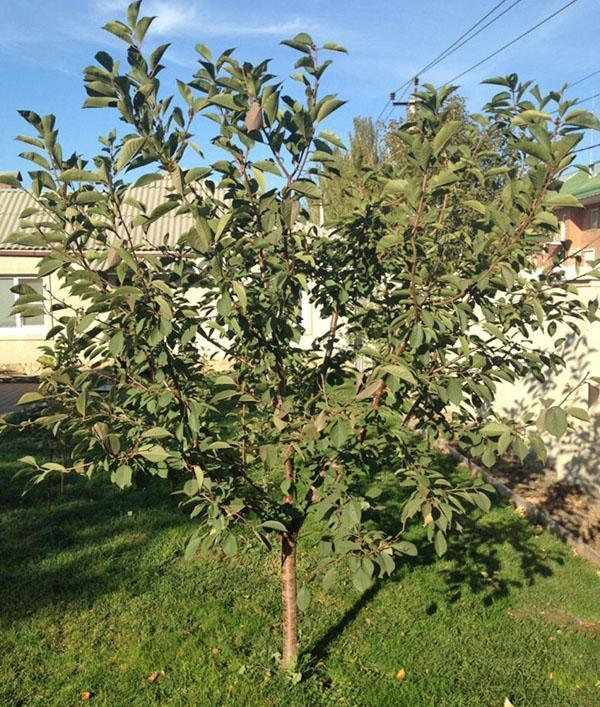 молодое дерево вишни Жуковская