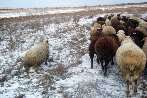 отара в зимнее время