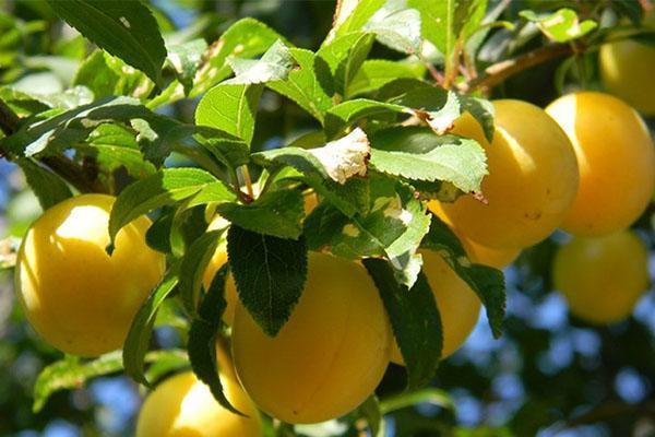плоды для варенья, компотов, желе
