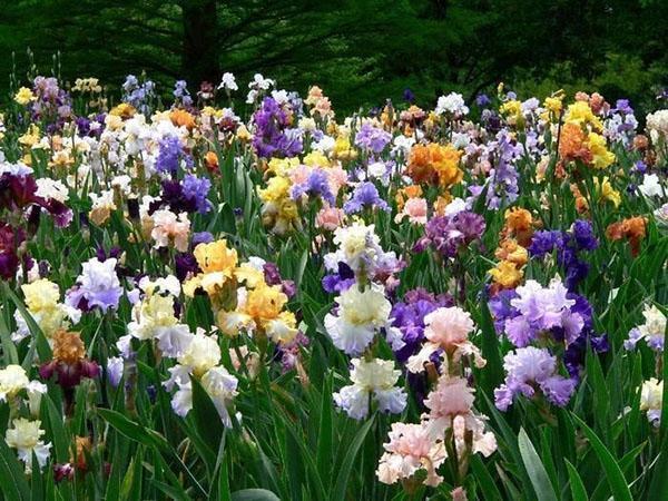 пышно цветут ирисы на солнечном месте