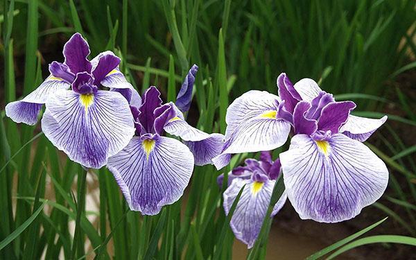 тесные посадки ирисов - причина их не цветения