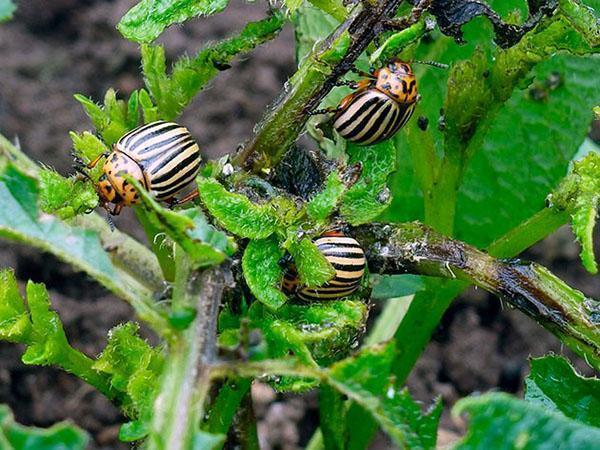 поражение картофеля колорадским жуком