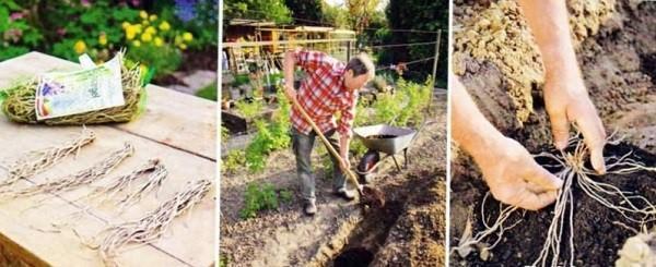 посадка аспарагуса овощного