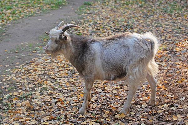 проведение случки коз