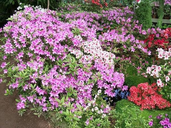 пышное цветение садовой азалии