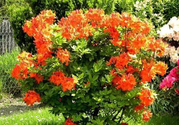 садовая азалия