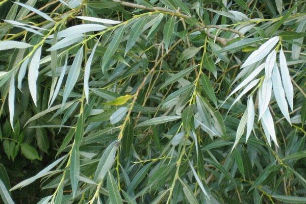 ветки и листья плакучей ивы