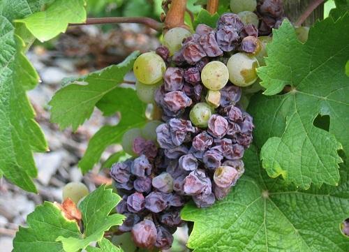 виноград сохнет