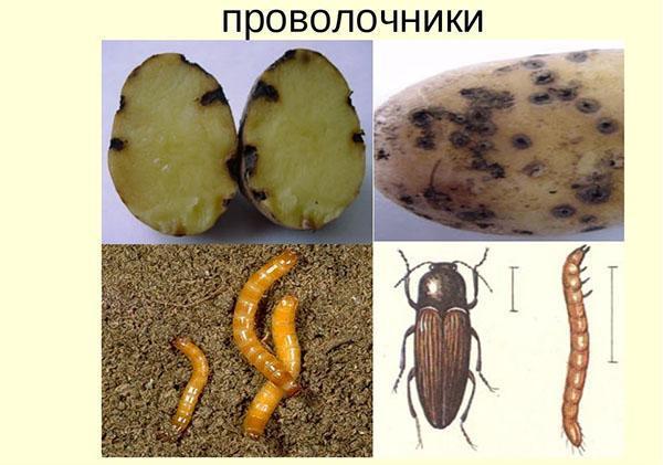 вредитель картофеля проволочник