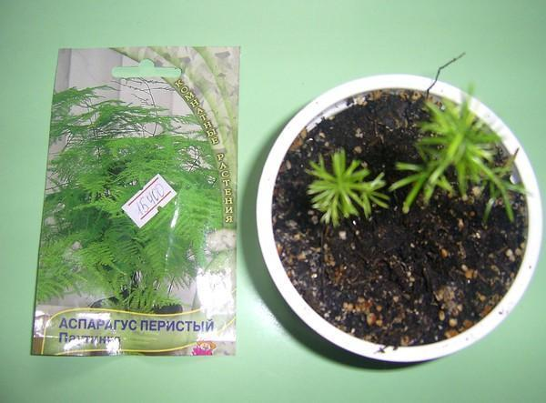 всходы семян аспарагуса