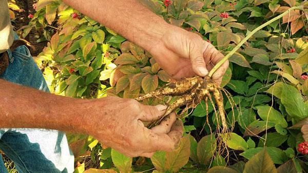 выкапываем корень женьшеня