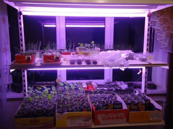 выращивание рассады под лампами