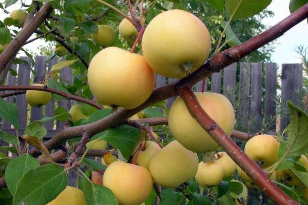 яблоки на дачи в Сибири