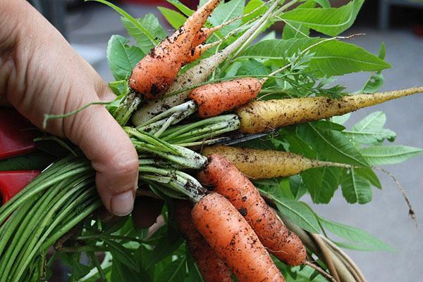 закладываем морковь свеклу на хранение