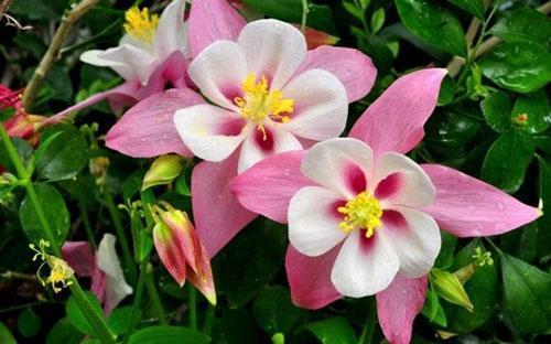 цветет аквилегия