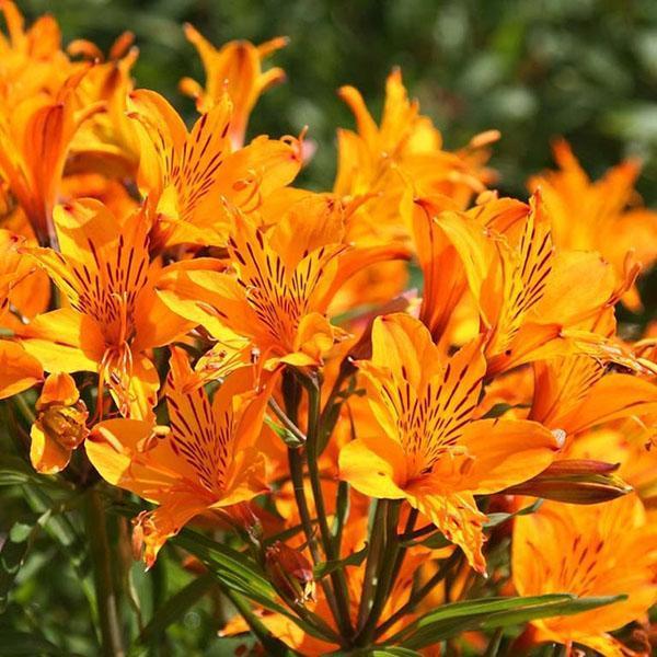 природе становится альстромерии оранжевые фото сортов в парке пик реализует