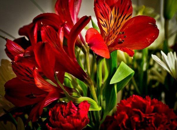 альстромерия кроваво-цветковая