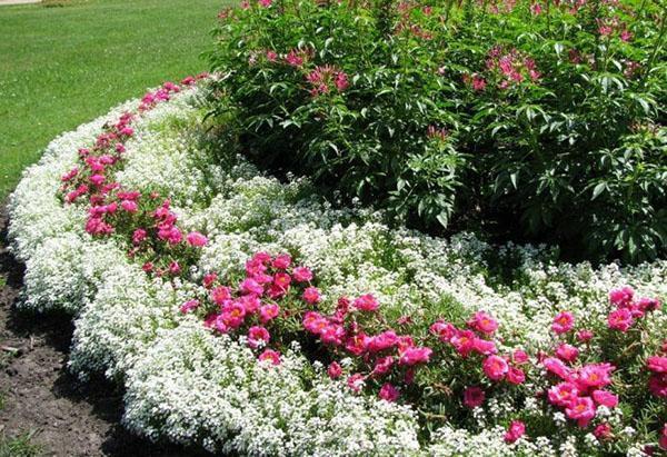 Алиссум – посадка и уход с фото, выращивание из семян многолетнего и однолетнего, болезни и вредители