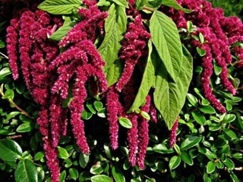 растение амарант обладает полезными свойствами