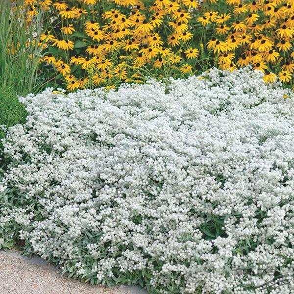 белоснежный анафалис в саду