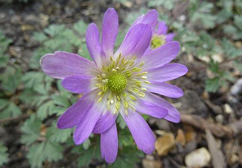 анемона фиолетовая звезда