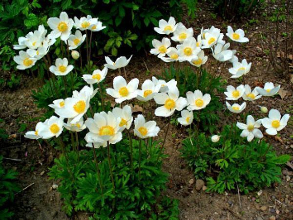 анемона лесная в саду