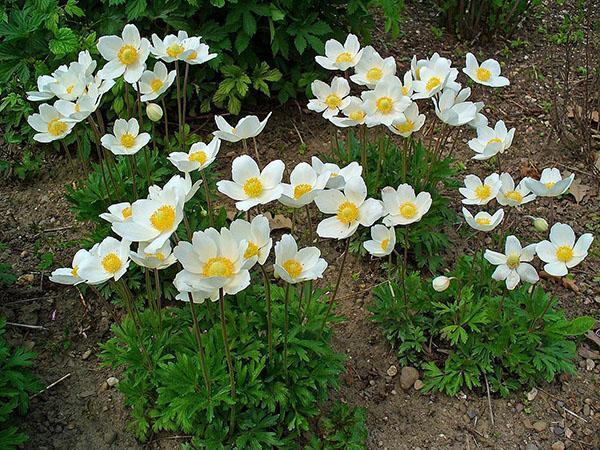 цветут анемоны на клумбе