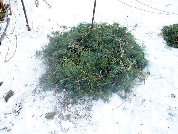 защита растений от промерзания