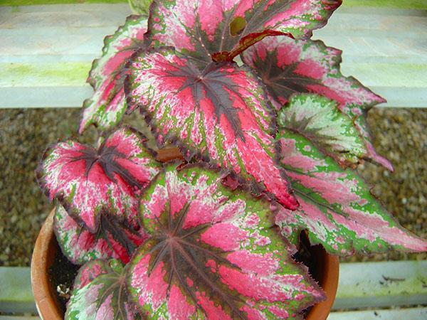 бегония Рекс с разноцветными листьями