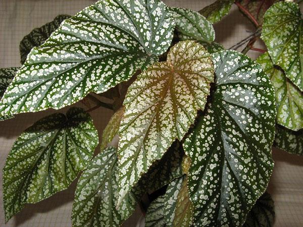 декоративно-лиственная бегония сорта Люцерна