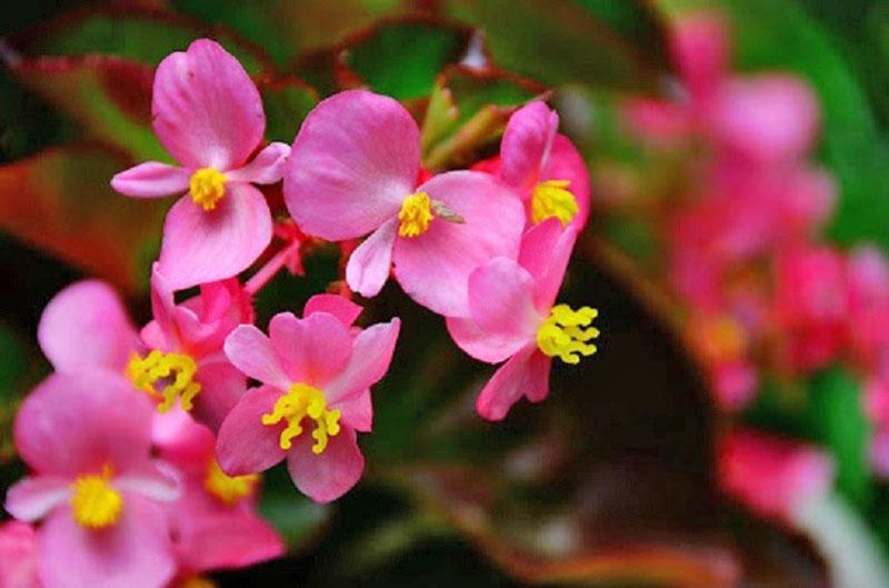 однополые цветы бегонии