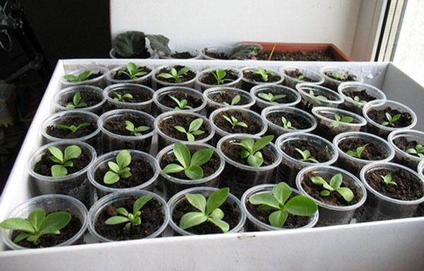 выращивание ибериса семенами