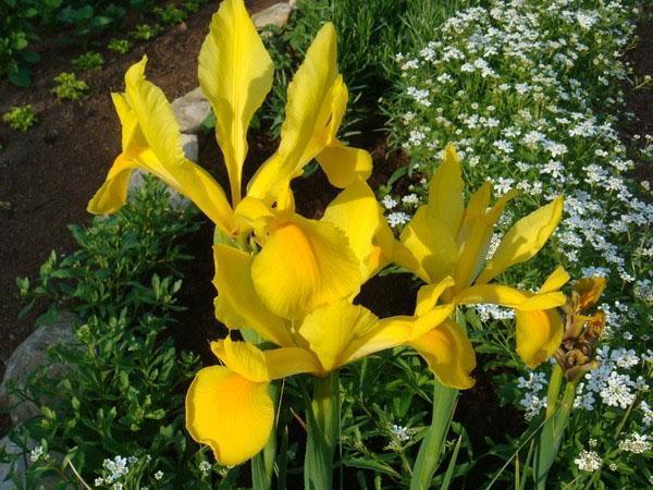 цветет ирис голландский