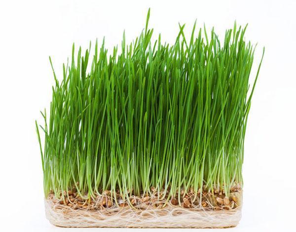 зеленые ростки пшеницы