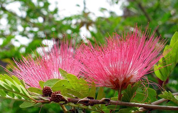 необычное цветение акации ленкоранской