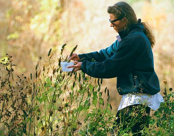собираем семена цветов