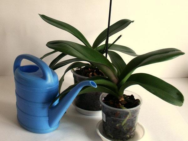 обработка орхидей медным купоросом